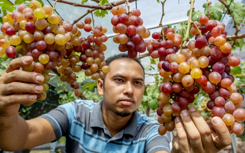 Kelantanese Man Successfully Grows Grapes In Difficult Malaysian Climate